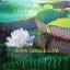 ภาพดอกบัววิคตอเรีย(ขายไปแล้วสั่งใหม่ได้) thumbnail 1