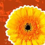 ภาพดอกไม้ เยอบีร่าสีเหลืองพื้นสีส้ม กรอบลอย 30x30 cm.